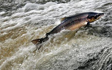 salmon against the current